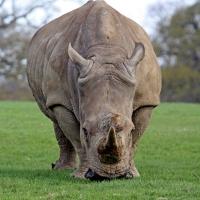 Знаете ли, че ... /любопитни факти за носорога/