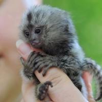 Знаете ли коя е най-малката маймуна в света?